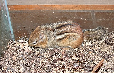 the chipmunk guest room